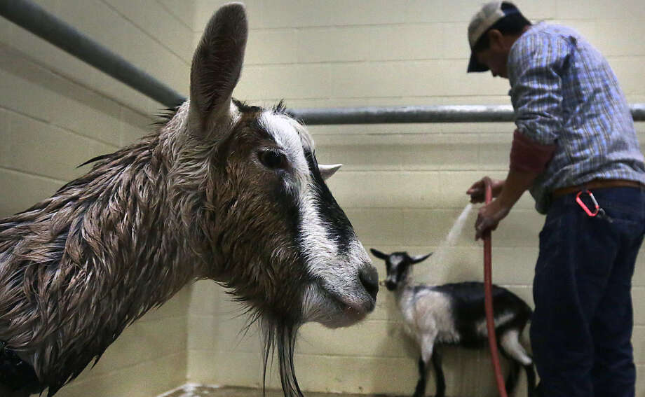 A goat, left, from the Great American Petting Zoo, waits to be rinsed off as Tino Rivas, center, washes other goats getting ready for The San Antonio Stock Show and Rodeo which opens on Thursday.  Tuesday, Feb. 4, 2014. Photo: BOB OWEN, San Antonio Express-News / © 2012 San Antonio Express-News