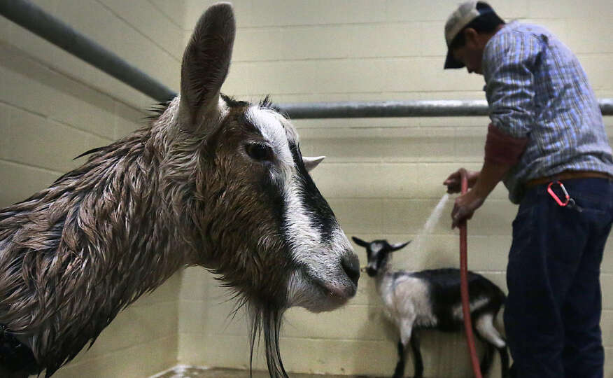 A goat, left, from the Great American Petting Zoo, waits to be rinsed off as Tino Rivas, center, was
