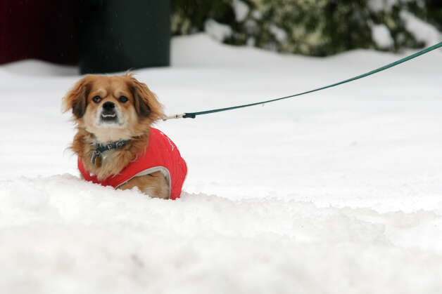 A dog walks in the snow in Stratford, Conn., Feb. 5, 2014. Photo: Ned Gerard / Connecticut Post