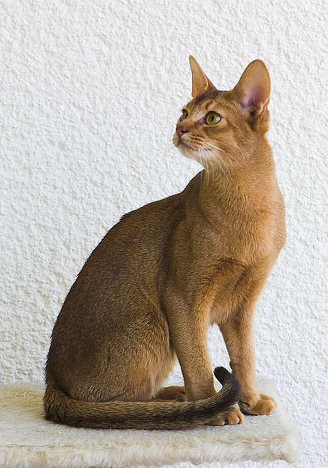 Abyssinian (Wikimedia commons photo)