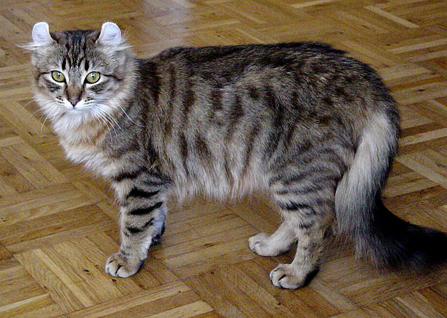 American Curl (Wikimedia commons photo)