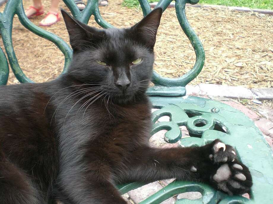 American Polydactyl (Wikimedia commons photo)