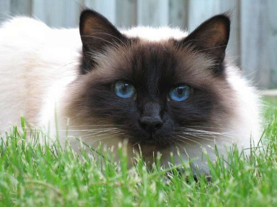 Birman (Wikimedia commons photo)