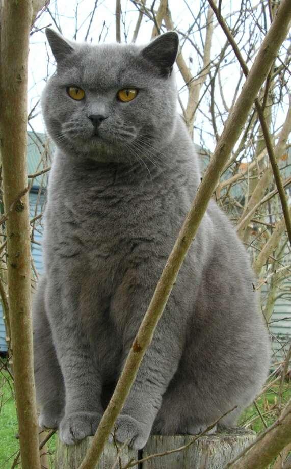 British Shorthair (Wikimedia commons photo)