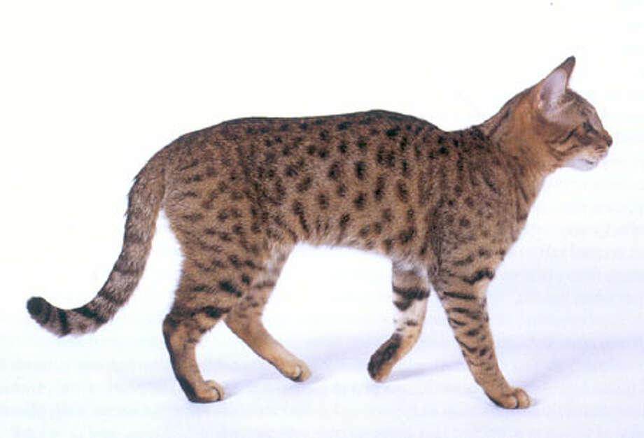 California Spangled Cat (Wikimedia commons photo)