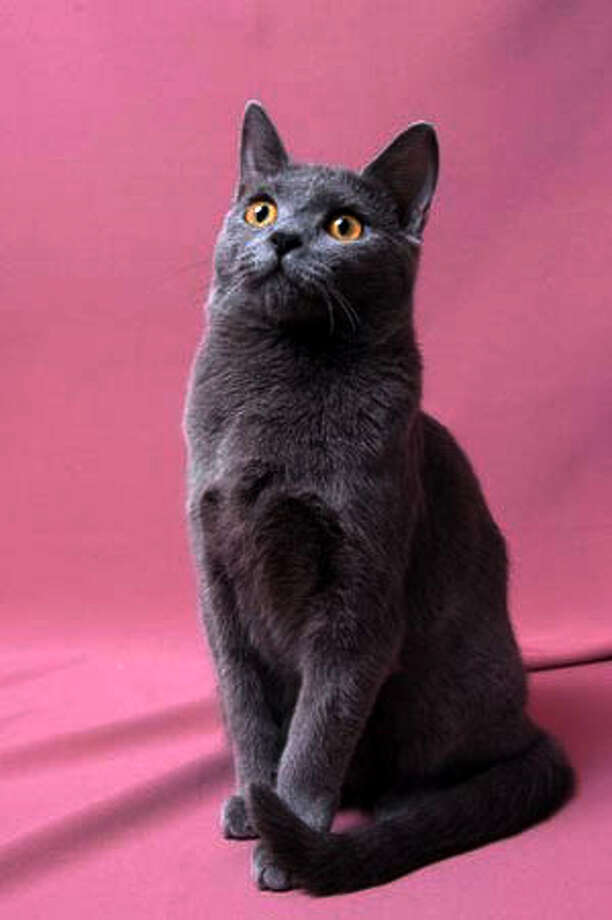 Chartreux (Wikimedia commons photo)