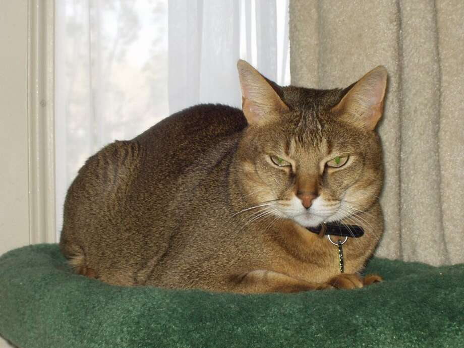 Chausie (Wikimedia commons photo)