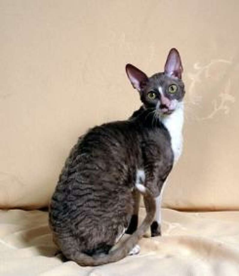 Cornish Rex (Wikimedia commons photo)