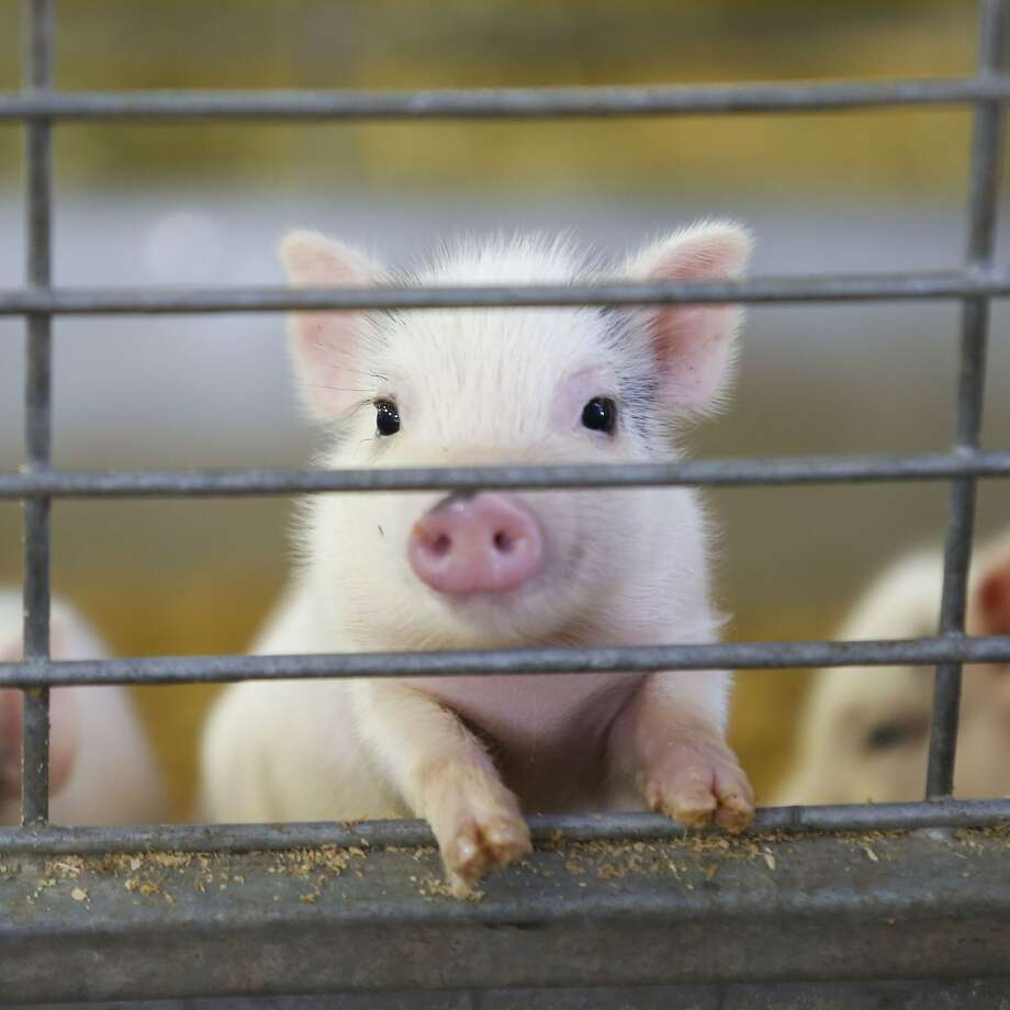 The cutest grunt of the litter: Only two weeks old, a Vietnamese pot-bellied piglet pokes snout and feet through the bars of its enclosure in the Moo-ternaty Ward barn at the Florida State Fairgrounds in Tampa. Photo: Vragovic, Will, Associated Press