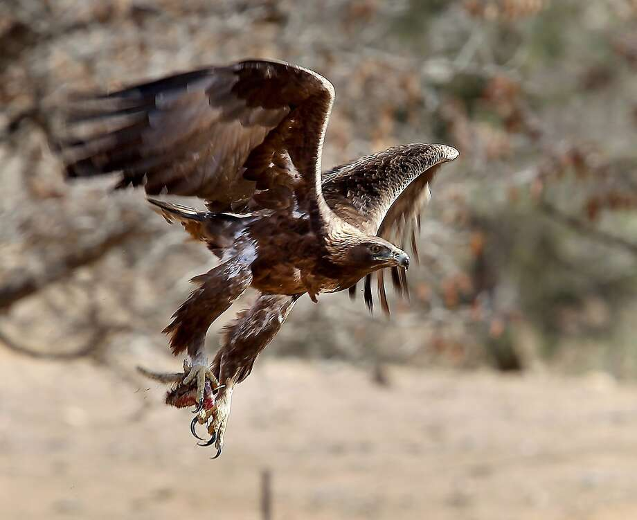 In-flight meal: A golden eagle flies off with a rodent in its talons north of Kernville, Calif. Photo: Casey Christie, Associated Press
