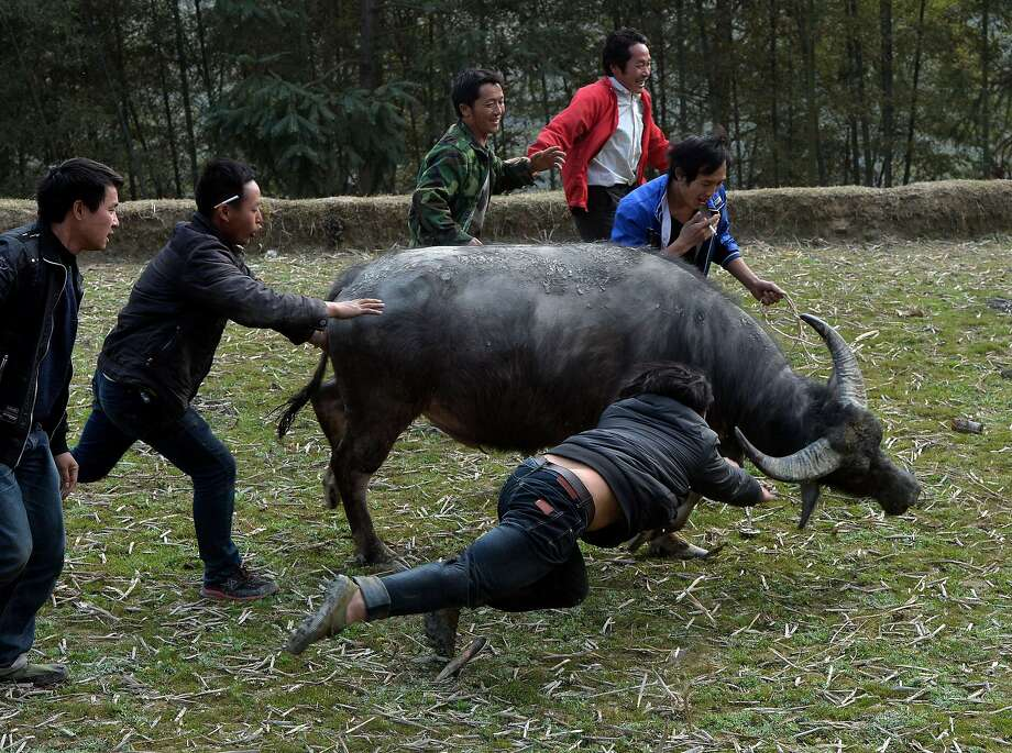 Come back here, you pacifist! Villagers chase a buffalo fleeing from a traditional Chinese New Year buffalo fighting competition at the Miao Minority village of Biasha in China's Guizhou 