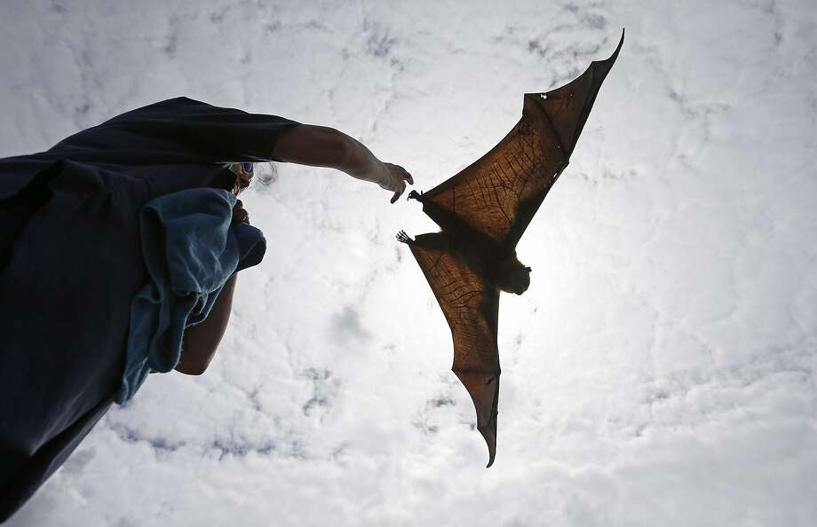 Hazards of a fruit diet:A wildlife caretaker releases a rehabbed Gray-Headed Flying Fox in Sydney's Centennial 