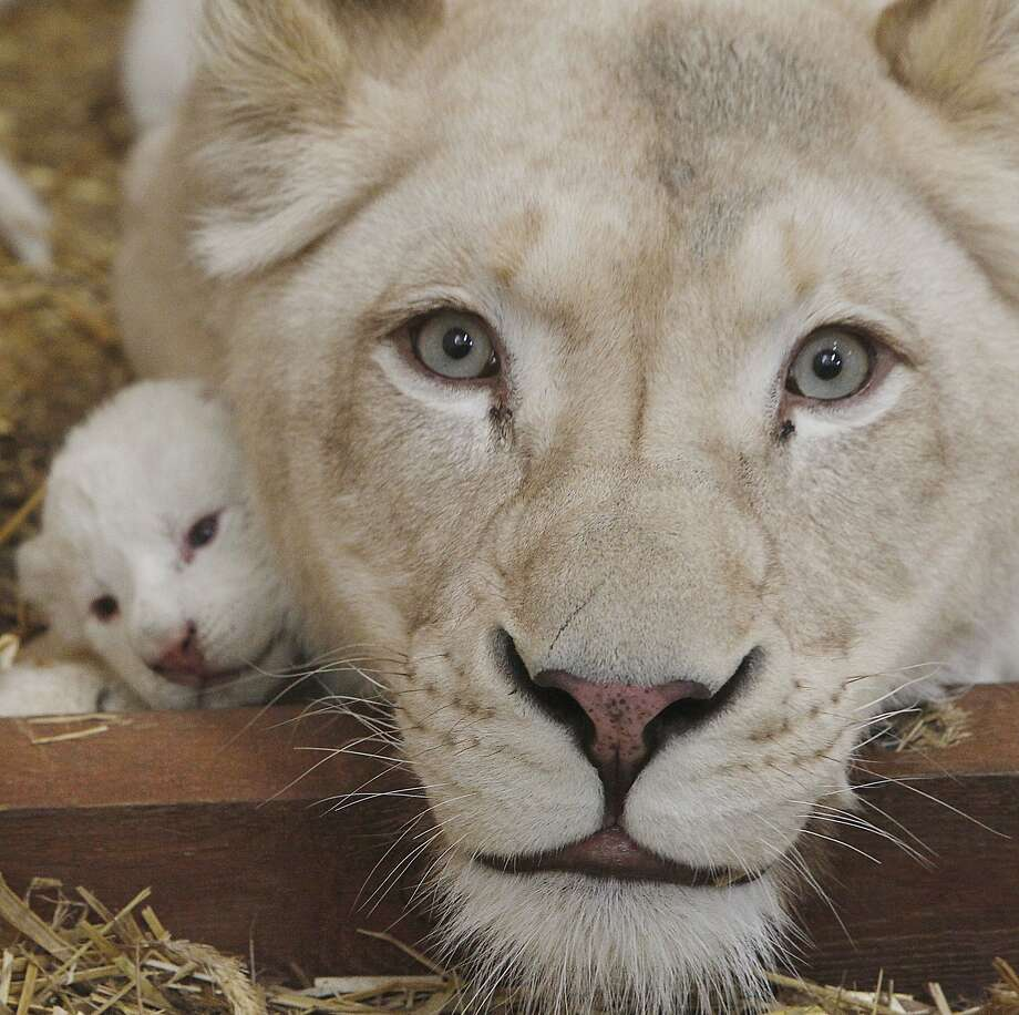 Uh, Mom? A little help ... can't breathe ... White lioness Azira, who gave birth to three cubs about a week ago, is a smother 