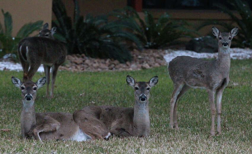Deer huddle together in a front yard Thursday February 6, 2014 on a frosty morning in Hollywood Park.