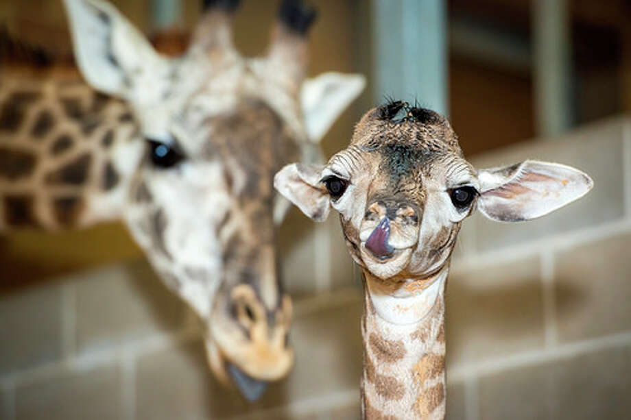Mama Tyra and her son are a few of the faces you'll see at the Houston Zoo's McGovern Giraffe Habitat.