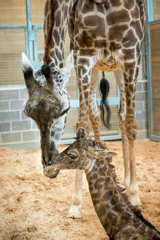 After a 14-month pregnancy by mama Tyra, the Houston Zoo has welcomed a new baby male giraffe to its McGovern Giraffe Habitat. Photo: HoustonZoo.org