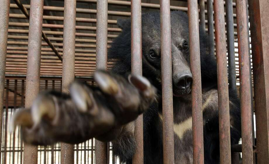 In this photo taken on Jan. 24, 2014, a bear looks out from a cage at a bear farm in Dangjin, south of Seoul, South Korea. Several bears lie stacked on top of each other, as still as teddy bears, as they gaze out past rusty iron bars. Others pace restlessly. The ground below their metal cages is littered with feces, Krispy Kreme doughnuts, dog food and fruit. They've been kept in these dirty pens since birth, bred for a single purpose: to be killed for their bile. Photo: Lee Jin-man, Associated Press