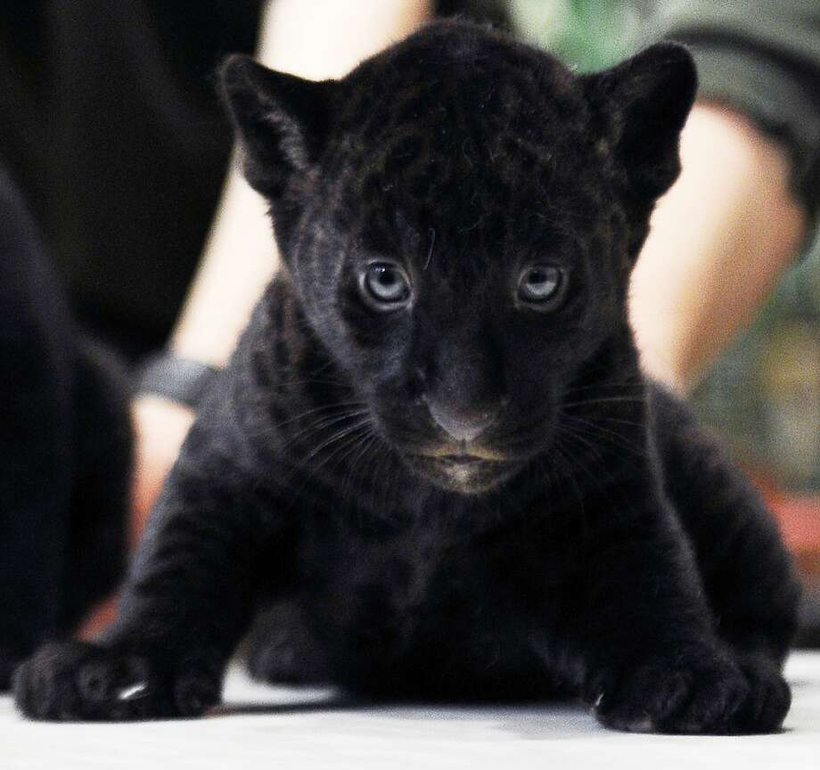 I told you NO photographs:A 2-month-old black panther cub gives a stern look to all present at his debut at the zoo in St. Petersburg, Russia. Photo: Olga Maltsevaolga, AFP/Getty Images