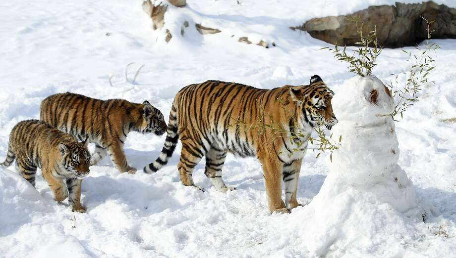 Why not both?Amur tigers at the Sedgwick County Zoo in Wichita, Kan., don't know whether to lick or maul the snowman that appeared overnight in their enclosure. Photo: Jaime Green, Associated Press