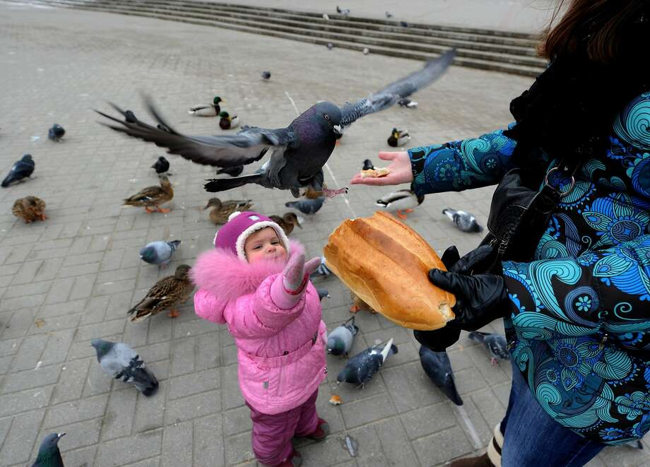 Crumb one, crumb all:Pigeons flock to a handout in Minsk. Photo: Viktor Drachev, AFP/Getty Images