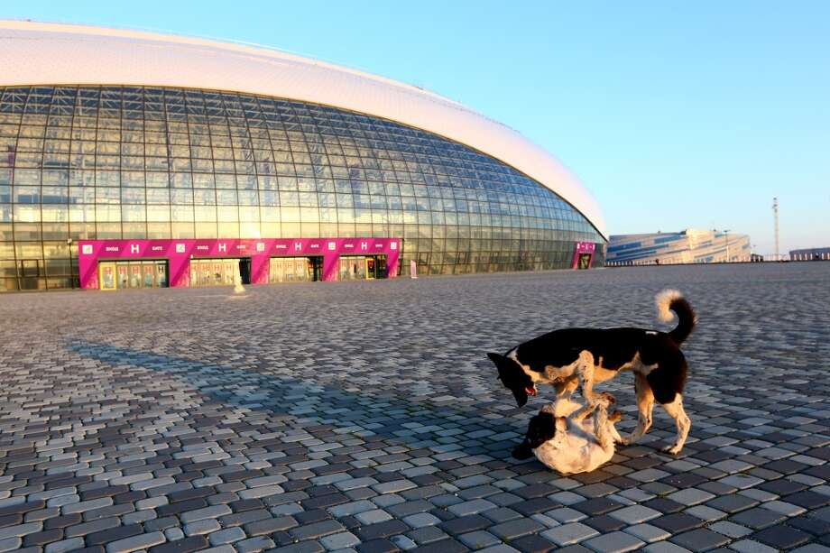 Stray dogs wrestle outside the Bolshoy Ice Dome ahead of the Sochi 2014 Winter Olympics at the Olympic Park on February 2, 2014 in Sochi, Russia.  (Photo by Quinn Rooney/Getty Images) Photo: Quinn Rooney, Getty Images
