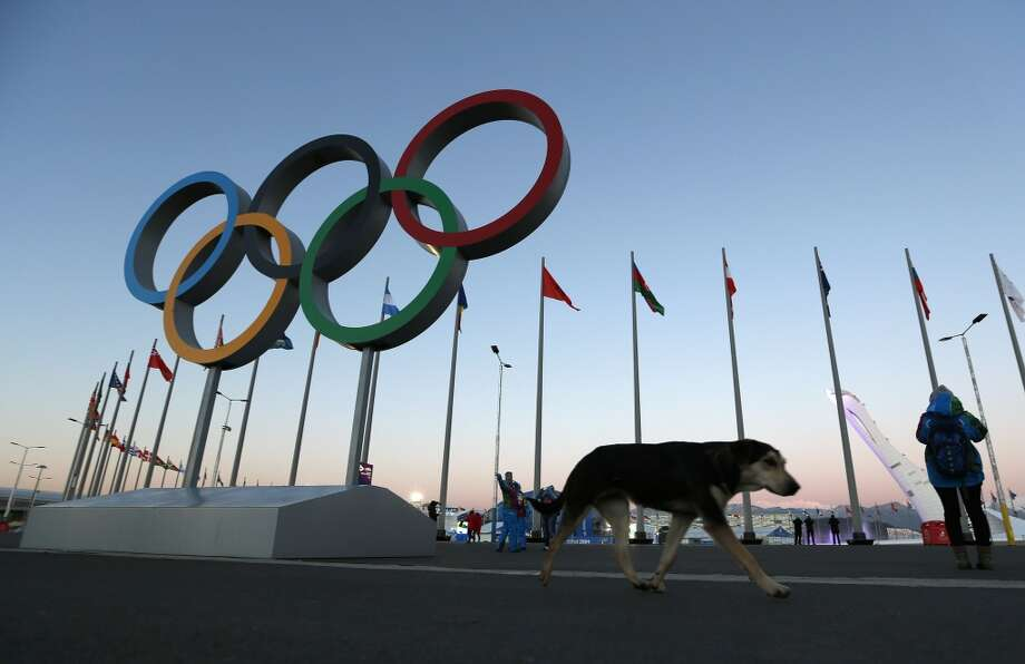 A stray dog walks past the Olympic Rings in Olympic Park, three days before the start of the 2014 Winter Olympics, Monday, Feb. 3, 2014, in Sochi, Russia. A pest control company which has been killing stray dogs in Sochi for years told The Associated Press on Monday that it has a contract to exterminate more of the animals throughout the Olympics. (AP Photo/Robert F. Bukaty) Photo: Robert F. Bukaty, Associated Press