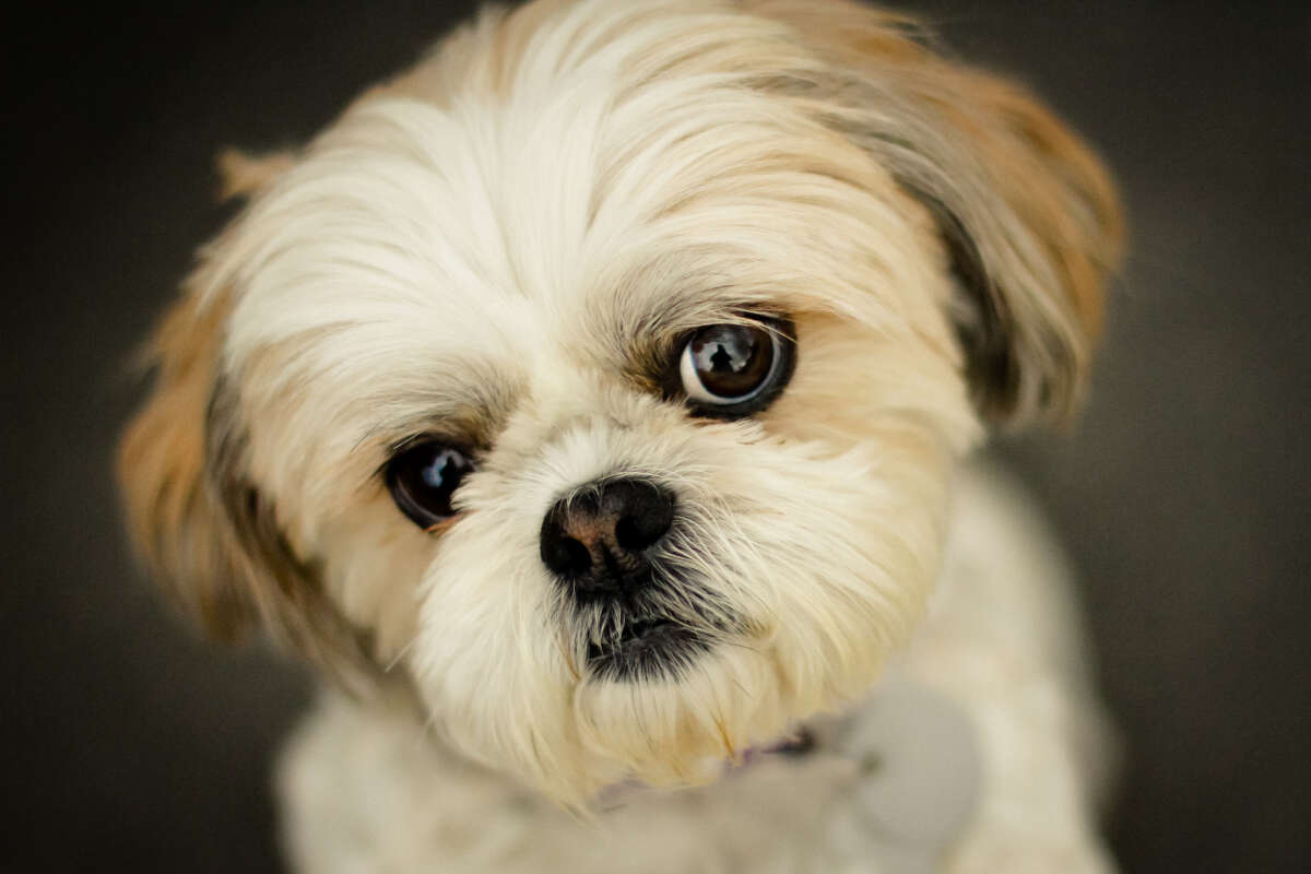 19. Shih Tzu. But little dogs are also well-loved in Seattle.