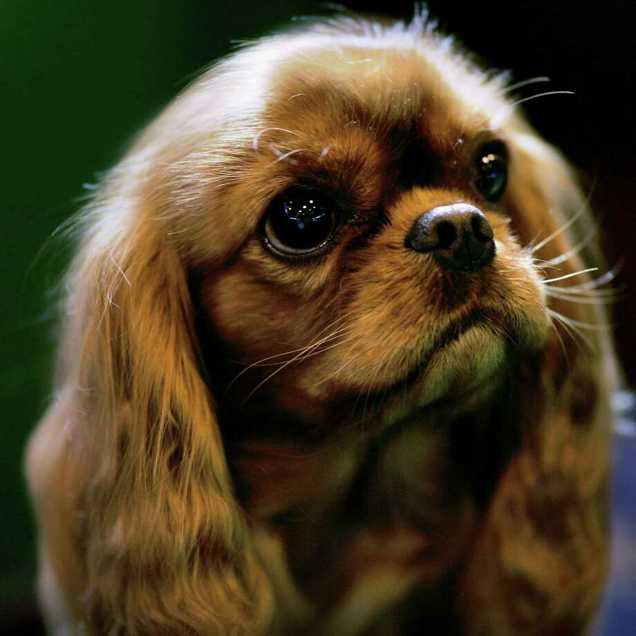 "BIRMINGHAM, UNITED KINGDOM - MARCH 11:  A Cavalier King Charles Spaniel rests during Crufts International Dog Show at the National Exhibition Centre on March 11, 2007 in Birmingham, England.  During this year's four-day competition 25,000 dogs and their owners will vie for a variety of accolades but ultimately ""Best In Show"". Photo: Bruno Vincent, Getty Images / 2007 Getty Images"