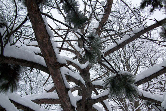 A snow-filled tree captured at Steinmetz Homes in Schenectady after the recent storm. (Kurtis L. Miller)