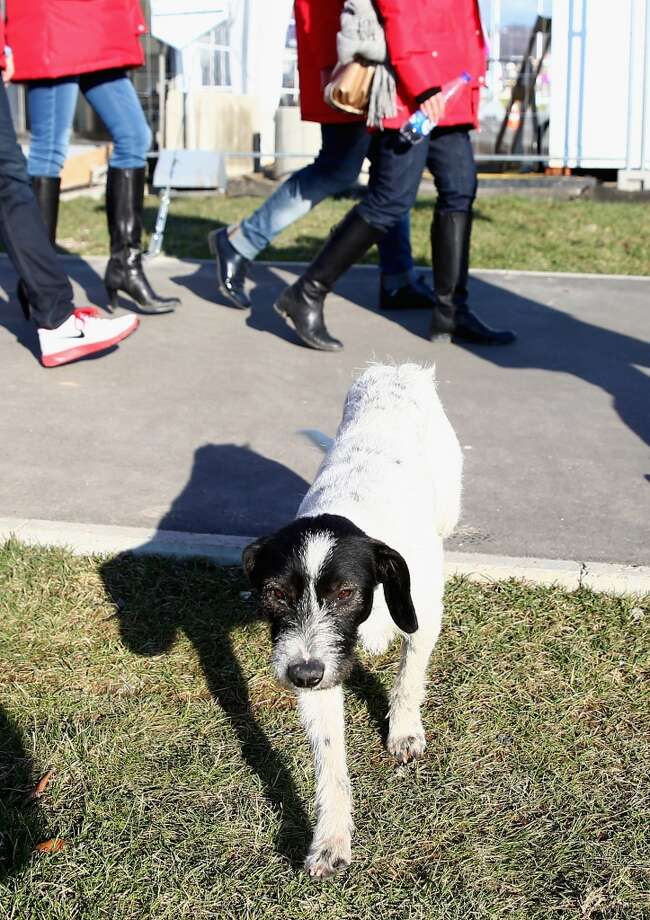 A stray dog is seen in the games precinct prior to the Sochi 2014 Winter Olympics, at the Coastal Olympic Village on February 2, 2014 in Sochi, Russia.  (Photo by Robert Cianflone/Getty Images) Photo: Robert Cianflone, Getty Images
