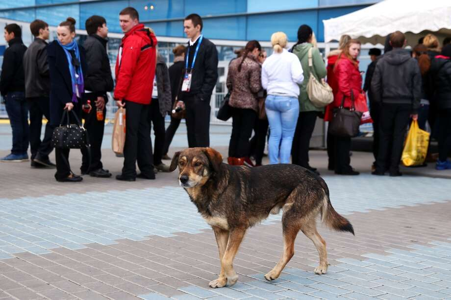 A stray dog walks through Olympic Park ahead of the Sochi 2014 Winter Olympics on February 5, 2014 in Sochi, Russia.  (Photo by Paul Gilham/Getty Images) Photo: Paul Gilham, Getty Images