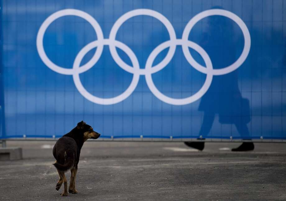 A stray dog walks past the Olympic rings during the official flag raising ceremony before the 2014 Sochi Winter Olympics in Sochi, Russia, Wednesday, Feb. 5, 2014. Authorities have turned to a company to catch and kill the animals so they don't bother Sochi's new visitors, or even wander into an Olympic event. (AP Photo/The Canadian Press, Nathan Denette) Photo: Nathan Denette, Associated Press