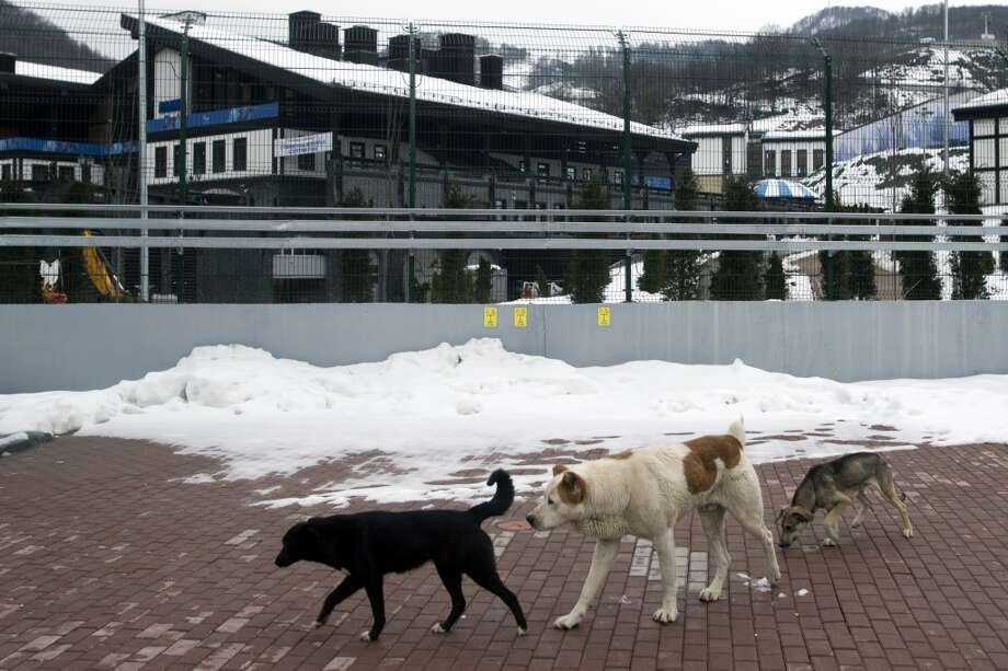 Stray dogs sit outside the Rosa Khutor Extreme Park course, a venue for the snowboarding and freestyle competitions of the 2014 Winter Olympics, in Sochi, Russia, Monday, Feb. 3, 2014.  A pest control company which has been killing stray dogs in Sochi for years told The Associated Press on Monday that it has a contract to exterminate more of the animals throughout the Olympics. (AP Photo/Pavel Golovkin) Photo: Pavel Golovkin, Associated Press