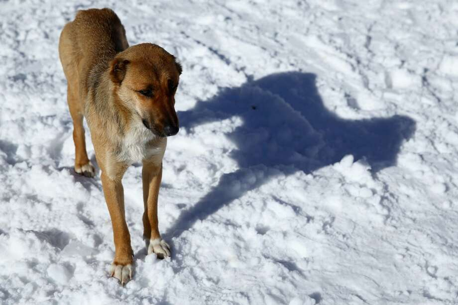 A stray dog loiters around the ski lift line at the base of the alpine ski venue on the Rosa Khutor ski mountain ahead of the Sochi 2014 Winter Olympics on February 4, 2014 in Sochi, Russia.  (Photo by Doug Pensinger/Getty Images) Photo: Doug Pensinger, Getty Images