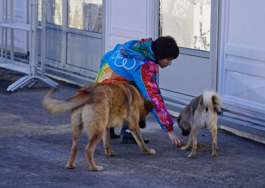 A volunteer feeds some stray dogs ahead of the Sochi 2014 Winter Olympics on February 5, 2014 in Sochi, Russia.  (Photo by Pascal Le Segretain/Getty Images) Photo: Pascal Le Segretain, Getty Images