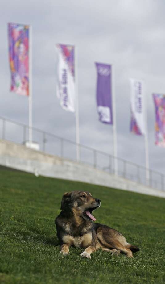 A stray dog rests in front of the Bolshoy Ice Dome, site of the ice hockey competitions, ahead the 2014 Winter Olympics, Wednesday, Feb. 5, 2014, in Sochi, Russia. (AP Photo/Petr David Josek) Photo: Petr David Josek, Associated Press