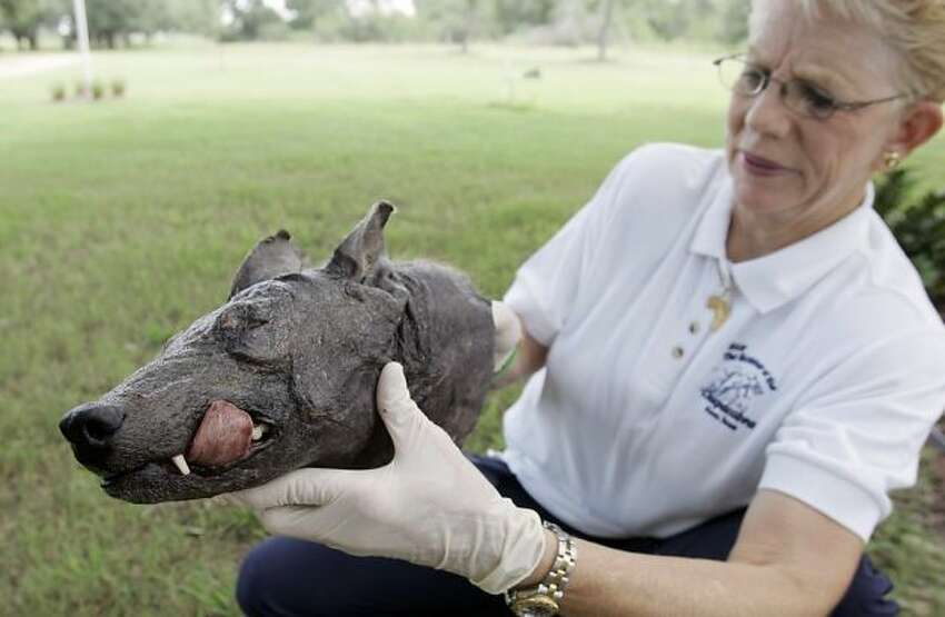 Phylis Canion holds the head of what she is calling a Chupacabra at her home in Cuero, Texas, Friday, Aug. 31, 2007. She found the strange looking animal dead outside her ranch and thinks it is responsible for killing many of her chickens.