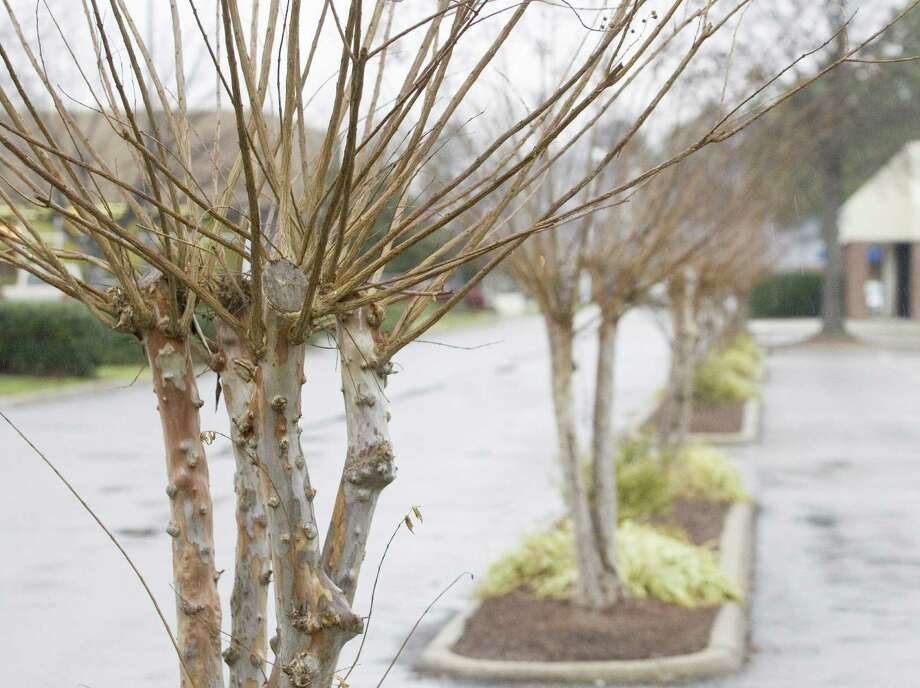 An improperly pruned crape myrtle produces a proliferation of weak stems that are weakly attached to the tree. Photo: MCT / Newport News Daily Press