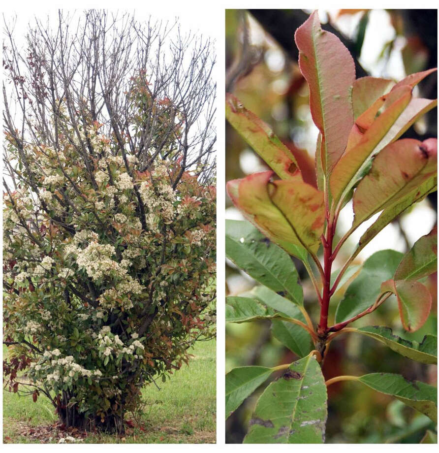 Entomosporium Leaf Spot Is A Fungal Disease Killing Redtip Photinias Across The Country Photo