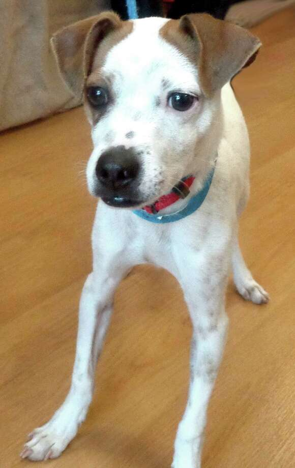 Next up is Moses , a 5 month old boyfriend, who is a cross between a Whippet and a Rat Terrier. He was abandoned and lost until he was brought to CAP. Photo: --