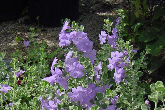 Texas sage needs good drainage and is best in sun.