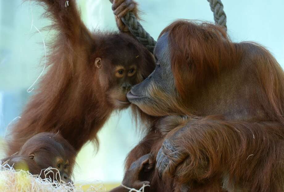 Give your mother a kiss:Matra smooches with daughter Jolie in their enclosure at the Hellabrunn Zoo in Munich. It's hard to see, but the momma orangutan is holding Jolie's unnamed, week-old sister in her arms. Photo: Christof Stache, AFP/Getty Images