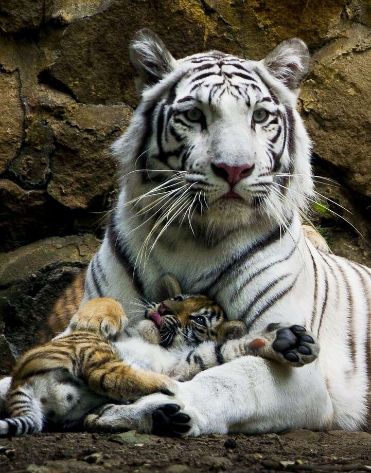 Whiskers are a tempting target for a paw swipe:Indira the white Bengal tigress and her cub relax at the zoo in Cali, Colombia. Photo: Luis Robayo, AFP/Getty Images