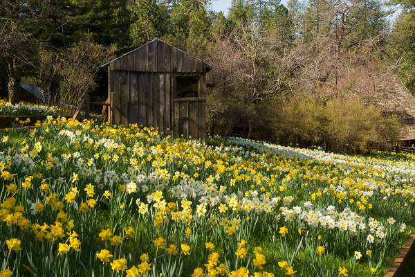 Daffodil Hill at McLaughlin Ranch in Volcano draws thousands of visitors when plants are in bloom, beginning in mid-March.