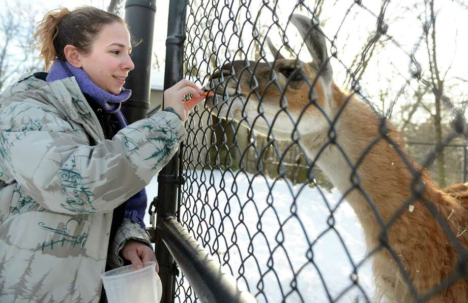 Intern Christiana Totten feeds Lawrence the llama some sweet potato, part of his dinner, Friday, Feb. 7, 2014, at Connecticut's Beardsley Zoo in Bridgeport, Conn. The Association of Zoos and Aquariums (AZA) announced Friday that Connecticut's Beardsley Zoo was granted accreditation by AZA's independent Accreditation Commission. Fewer than 10 percent of the approximately 2,800 animal exhibitors licensed by the United States Department of Agriculture are AZA-accredited. Photo: Autumn Driscoll / Connecticut Post