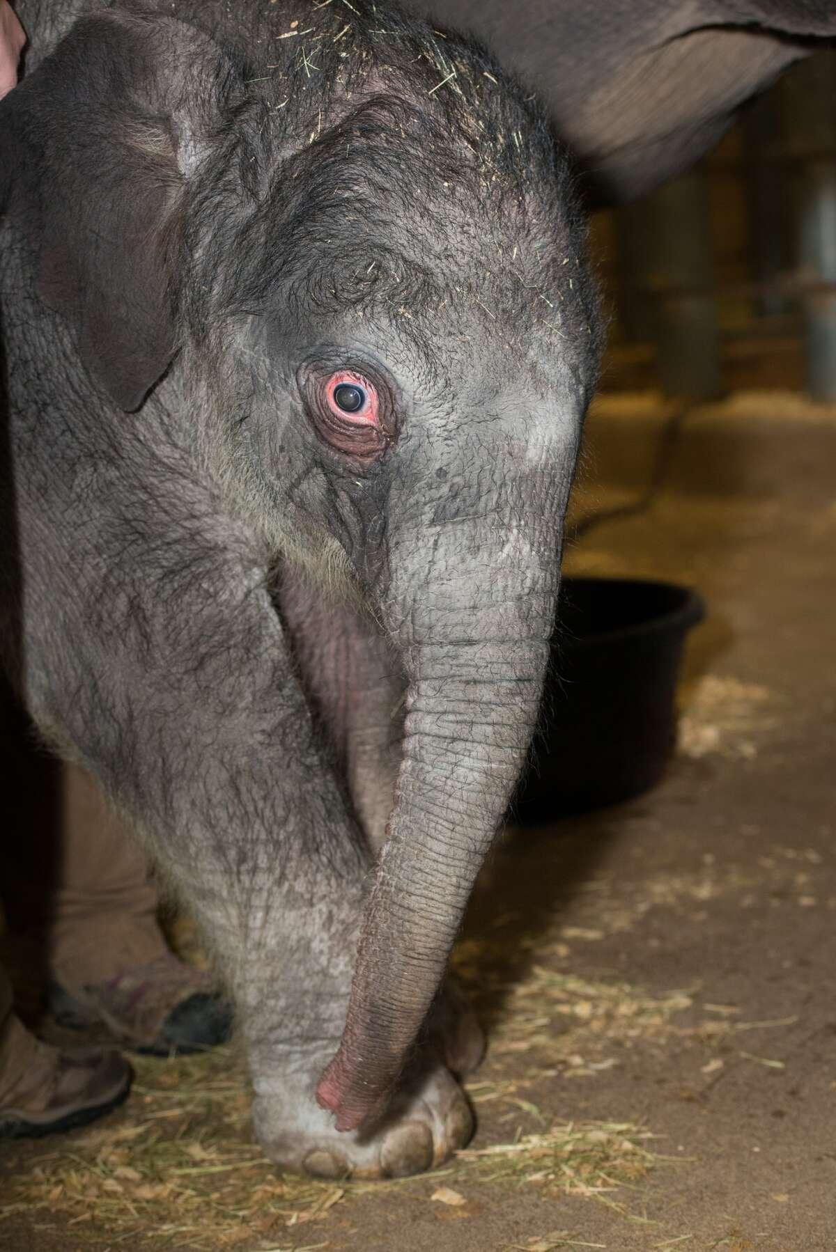 Baby Asian elephant Duncan makes his debut at the Houston Zoo. (Photos Courtesy of Houston Zoo)