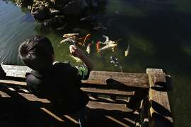 Christian Yanez feeding several coy at the Hayward Japanese Gardens in Hayward, Calif. on Friday, Jan 31, 2014. The Hayward Japanese Gardens are located near downtown Hayward, the gardens are designed along traditional lines. They are maintained by the Hayward Area Recreation and Park District