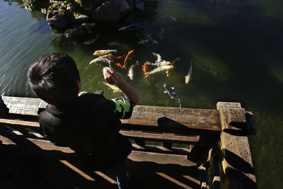 Christian Yanez feeds koi at the Hayward Japanese Gardens pond, where turtles also live. Photo: Andre Zandona, The Chronicle