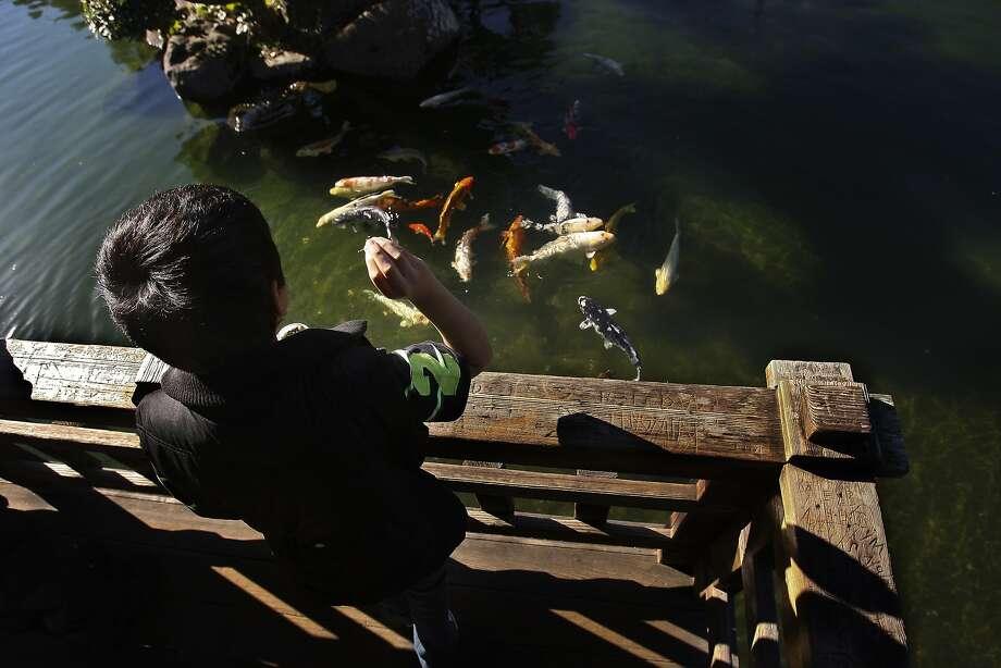 Christian Yanez feeds koi at the Hayward Japanese Gardens pond, where turtles also live. Photo: Andre Zandona, The Chronicle