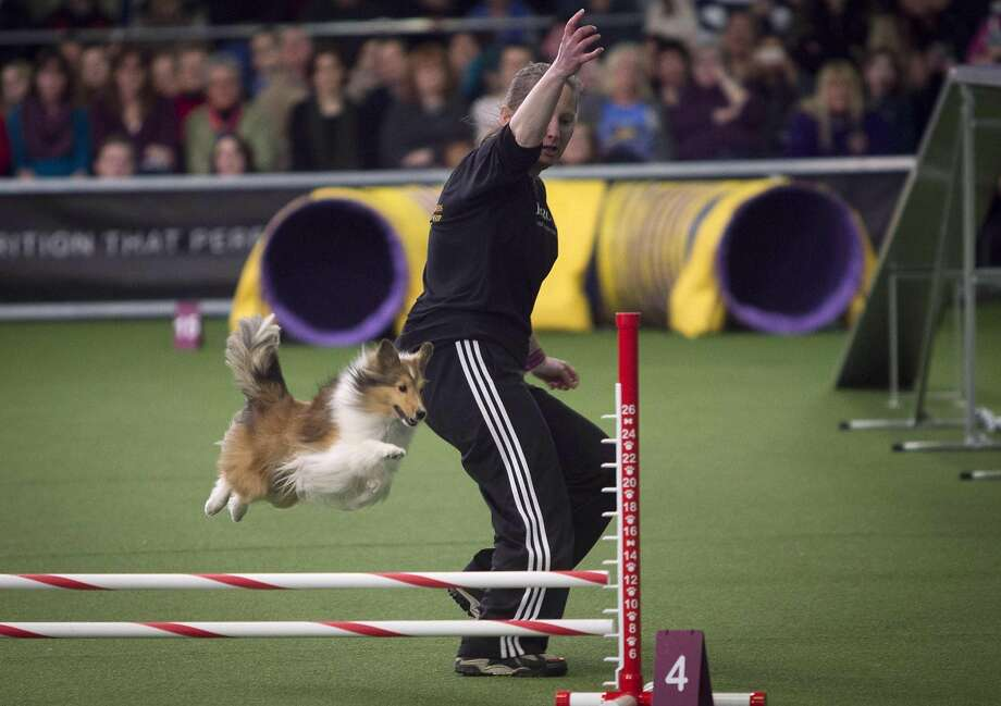 A dog competes in the Masters Agility Championship at the Westminster Kennel Club in New York February 8, 2014. REUTERS/Carlo Allegri (UNITED STATES - Tags: SOCIETY ANIMALS) Photo: Carlo Allegri, Reuters